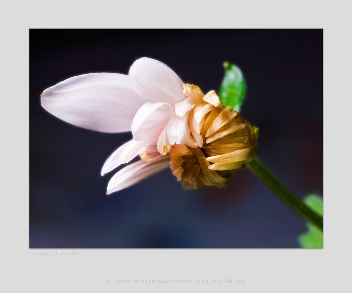 Blume-04
