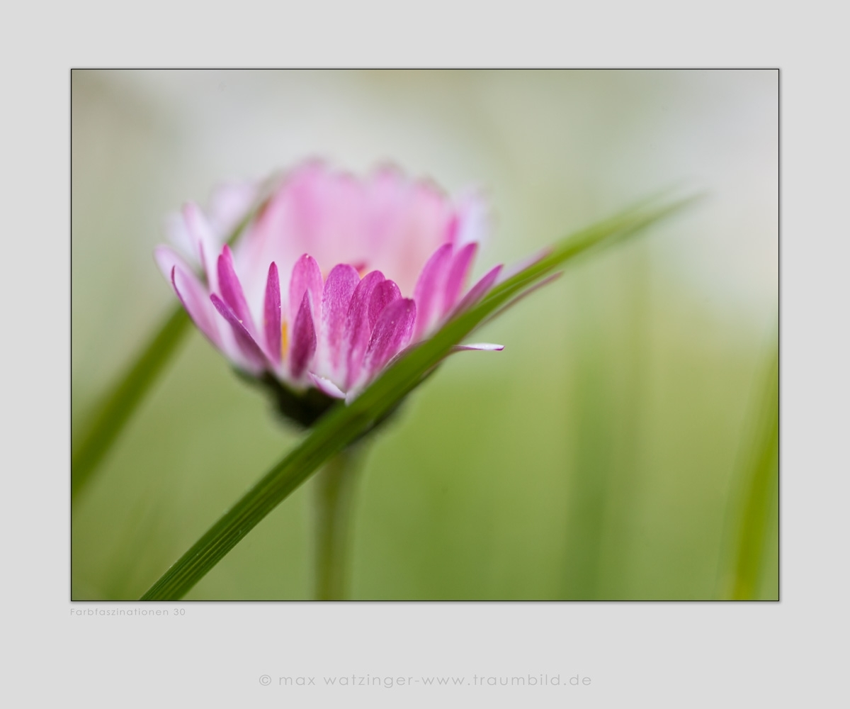 Blume-30