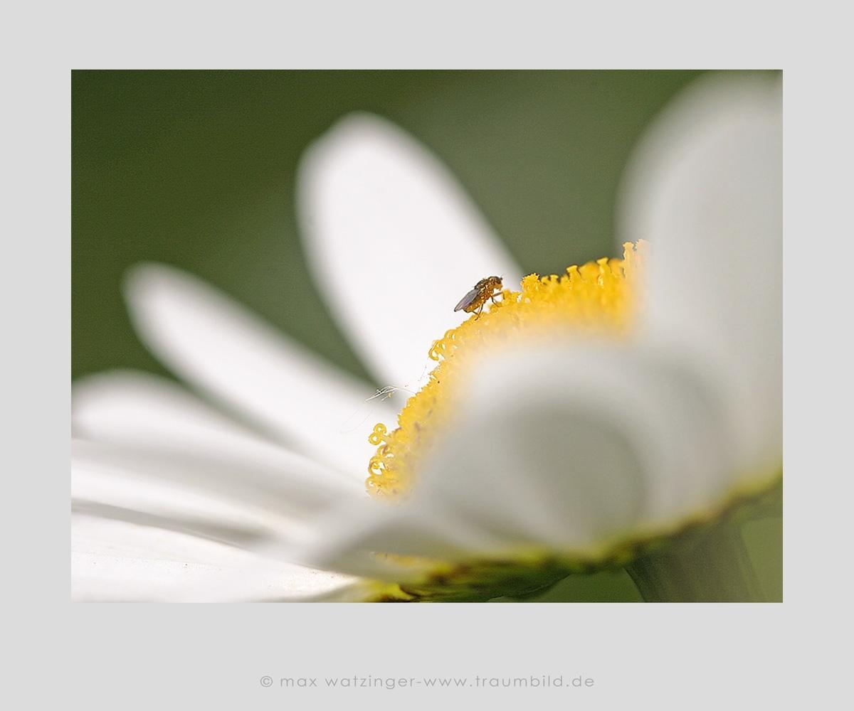 Blume-31
