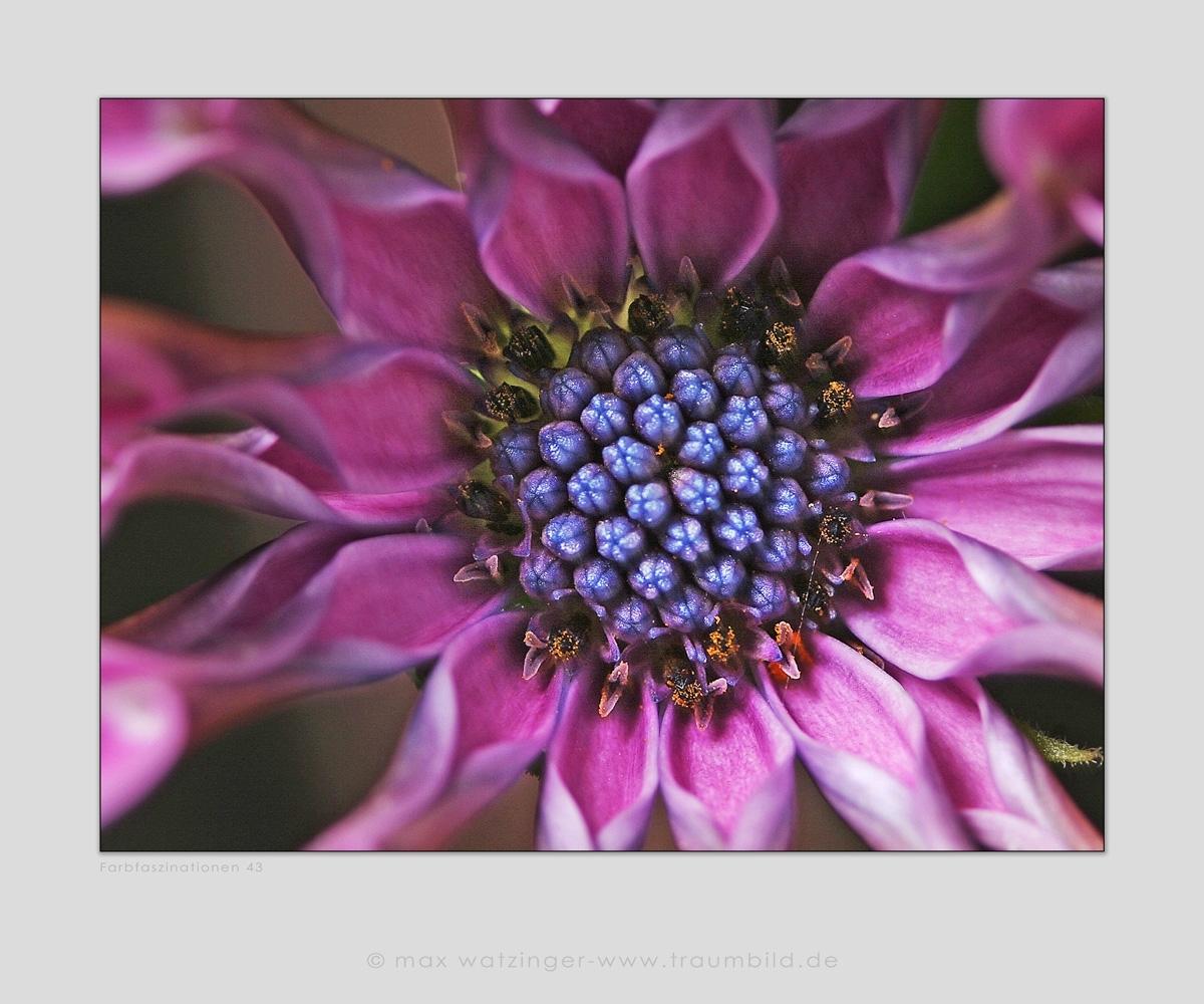 Blume-43