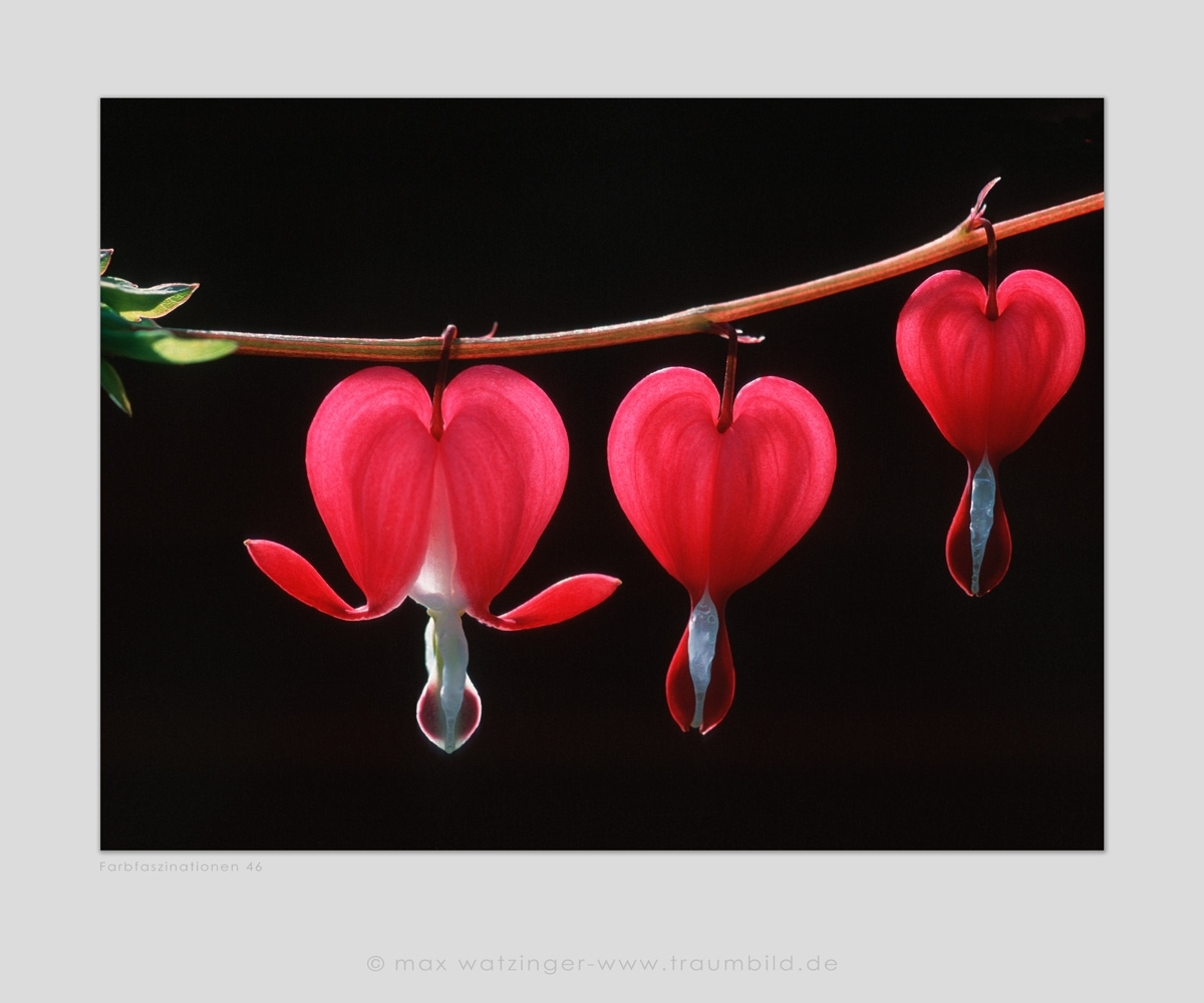 Blume-46
